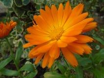 Orange flower. A beautiful symmetrical orange flower in a garden Royalty Free Stock Images