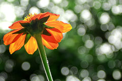 Orange flower. Beautiful flower in tropical color Royalty Free Stock Photo