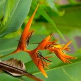 Orange flower. Beautiful orange tropical flower. Thailand Stock Photos