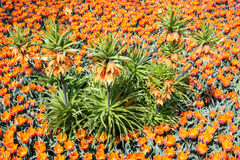 Orange flower bed Stock Image