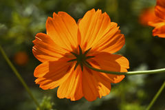 Orange Flower from behind. Star shaped orange flower in the sun looking from behind Royalty Free Stock Photos