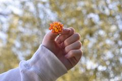 Orange flower being held infront of blurred leaves. royalty free stock images