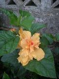Orange flower. Orange and big flower, beatiful, amapola royalty free stock image
