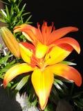Orange flower. Big Orange flowers Stock Photo