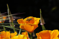 Orange flower on a black background Stock Image