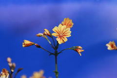 Orange flower in bloom with dark blue sky. Orange flower blooming with out of focus dark blue sky background Stock Image