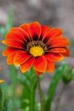 Orange flower blooming in the garden Stock Image
