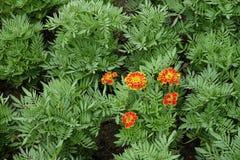 Orange flower blooming in the green garden Stock Photo