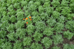 Orange flower blooming in the green garden Royalty Free Stock Photo