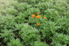 Orange flower blooming in the green garden Royalty Free Stock Photos