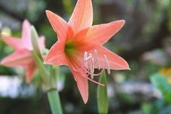 Orange flower blooming, hippeastrum johnsonii Bury Wan-see-tit. Close up Orange flower blooming, hippeastrum johnsonii Bury Wan-see-tit stock image