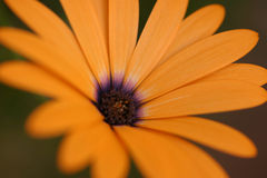 Orange flower blossom Stock Photos