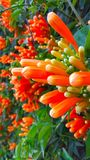Orange flower blossom. Vegitation with orange blooming fruit Stock Photo