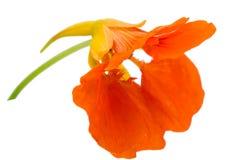 Orange flower blossomed, on white background Stock Photo