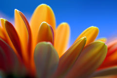 Orange Flower Blue Background Stock Photos