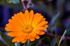 orange flower. With blurry background Royalty Free Stock Photo