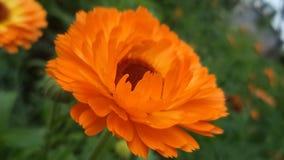 Orange  flower. Orange,  botanical, grass, nature color, dew, flower, spring, bright, green, summer, fresh, macro Royalty Free Stock Photo