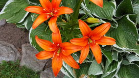Orange flower. Bright and beautiful orange flower in contrast to it& x27;s leaves Royalty Free Stock Photo