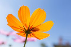 Orange Flower. Bright orange flower with clear sky Stock Images