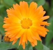Orange flower. A Bright Orange garden flower called Calendula Officinalis Stock Photography