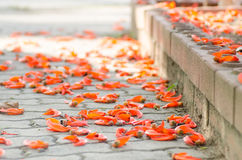 Orange flower. Bright orange flower (Newguinea Creeper or Red Jade Vine) falling on concrete floor in park Royalty Free Stock Photos
