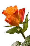 Orange flower, bright rose Stock Photos