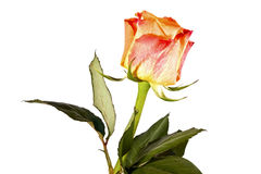 Orange flower, bright rose Stock Images