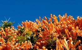 Free Orange Flower Bush Against Bright Blue Sky Stock Photo - 145590180
