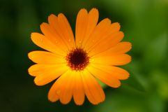 Orange flower - Calendula Stock Image