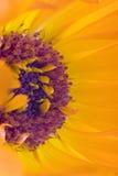 Orange flower(Calendula). Close up orange flower(Calendula) interior Stock Images
