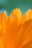 Orange flower(Calendula). Close up petals of orange flower(Calendula Stock Photo