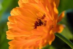 Orange flower(Calendula). Close up orange flower(Calendula) interior Royalty Free Stock Image