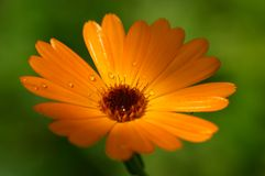 Orange flower - Calendula. Closeup of orange flower (Calendula royalty free stock photo