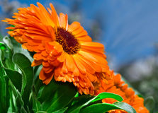 Orange flower calendula Stock Photography