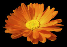 Orange flower calendula. the black isolated background with clipping path. Closeup. no shadows.  yellow center. Royalty Free Stock Photo