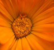 Orange flower. Stock Images