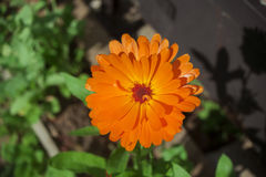 Orange flower of calendula, close-up, top view Stock Image