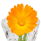 Orange flower of Calendula officinalis Royalty Free Stock Image