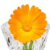 Orange flower of Calendula officinalis Royalty Free Stock Image