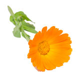 Orange flower of Calendula officinalis Royalty Free Stock Photography