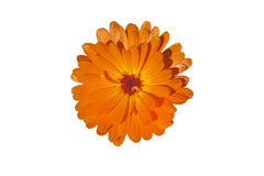 Orange flower of calendula, on white isolated background Royalty Free Stock Images