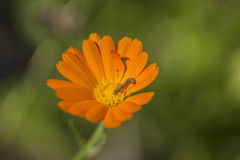 Orange flower and caterpillar Stock Photo