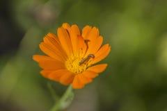 Orange flower and caterpillar Stock Photo