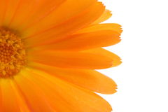 Orange flower close up Royalty Free Stock Photos