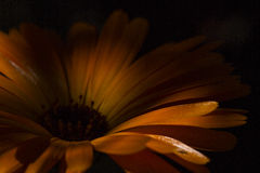 Orange flower. A close up of an orange flower in the dark Royalty Free Stock Photo