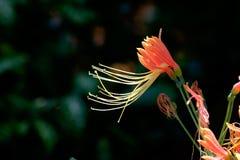 Orange flower close up with dark background Royalty Free Stock Image