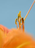 Orange flower close up. Close up of a flower`s anthers on blue background stock photo
