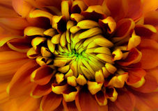 Orange flower close up with yellow and green center petals stock photos