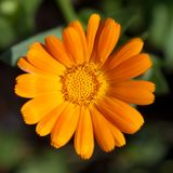 Orange flower closeup Stock Images