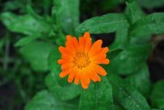 Orange flower. Closeup of orange flower on garden Royalty Free Stock Images